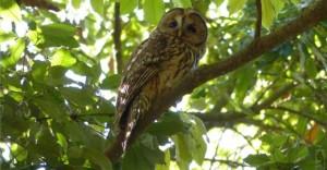 Ural owl (fukuro)