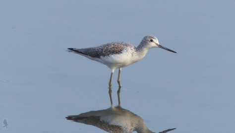 common greenshank (aoashi-shigi)