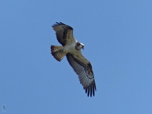 Osprey (misago)