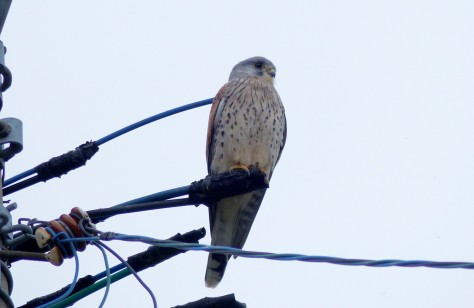 common kestrel, chougen bou 1