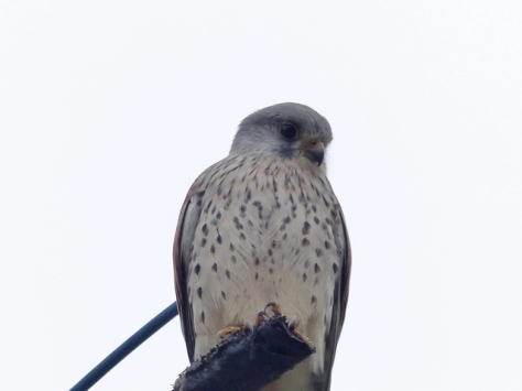 common kestrel, chougen bou 2a