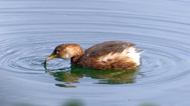 little grebe eating, kaitsuburi 11,15,15