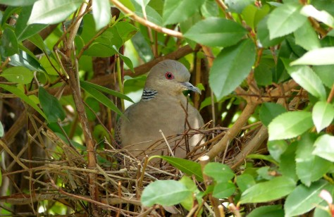 oriental turtle dove (kijibato) on nest