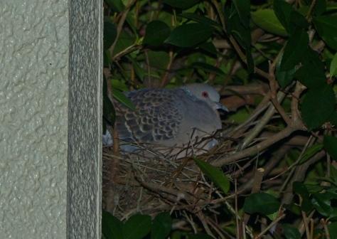 oriental turtle dove(kijibato) nest 2