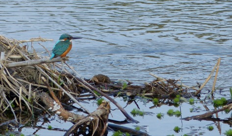 common kingfisher, kawasemi in Japanese