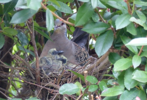 oriental turtle dove with squabs