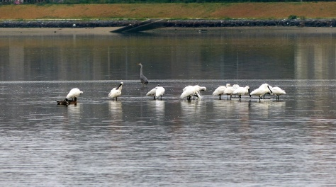 black-faced spoonbill 3,21,15  4 blog 3