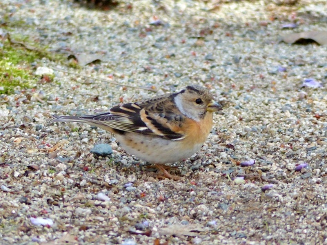 brambling, female 4,20,16