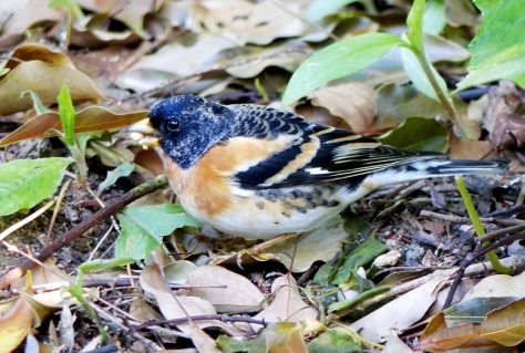 brambling, male 4,20,16