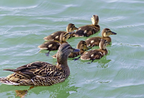 aokubiahiru, Japanese mallard with ducklings