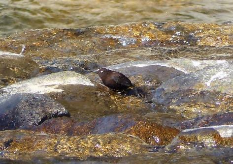 brown-dipper-3-blog