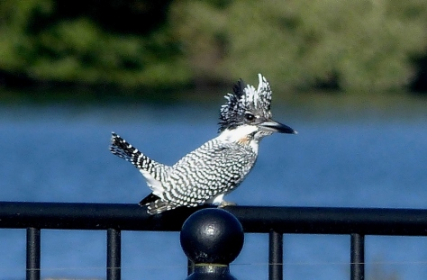 crested-kingfisher-yamasemi-blog-ok