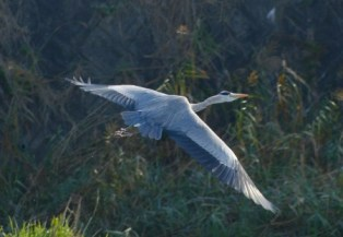 grey heron, aosagi at Homan River