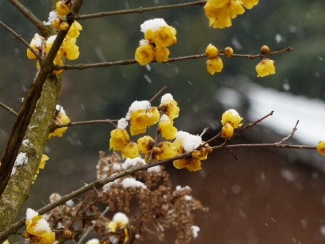 yellow-plum-blossoms-ume