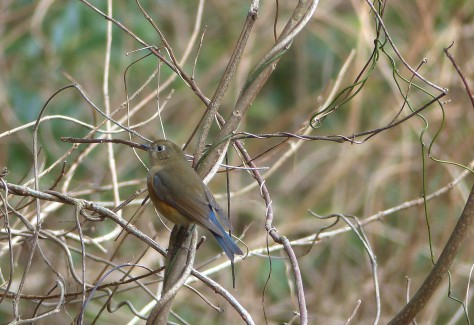 red-flanked bluetail, ruri bitaki, female