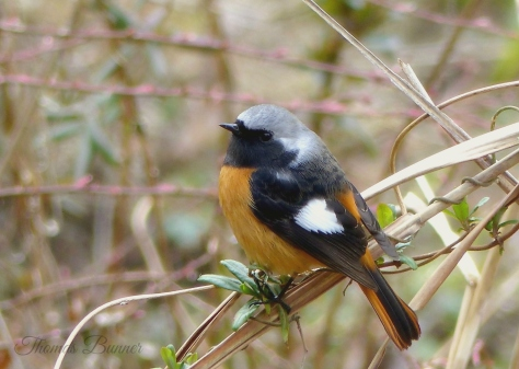 Daurians redstart, blog