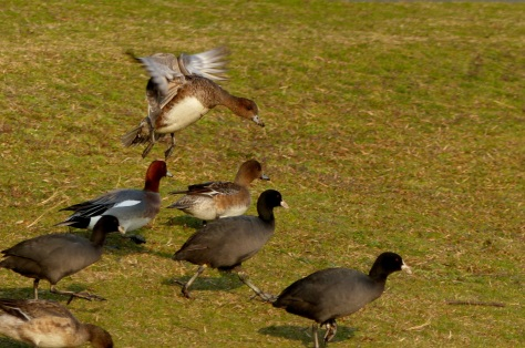 E. wigeon landing