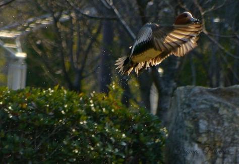 eorasian wigeon, hidori gamo blog