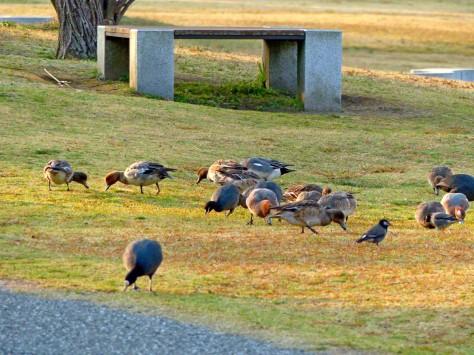 Grazing Wigeons