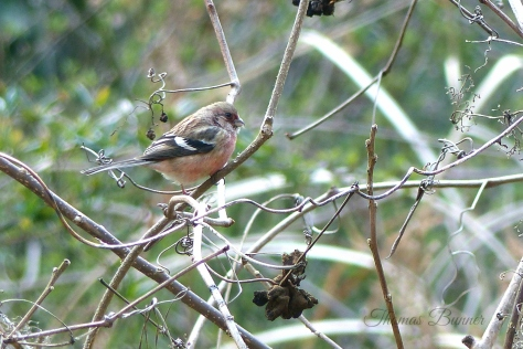 long-tailed rosefinch blog