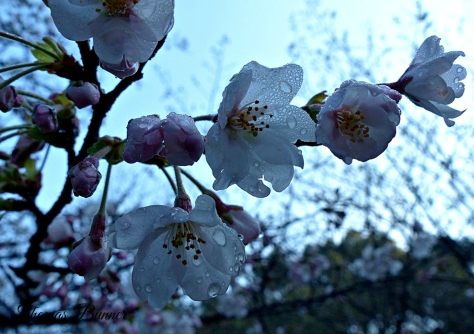 morning dew on Sakura blog