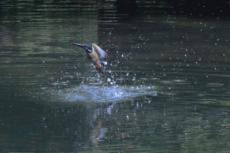 common kingfisher emerging from surface