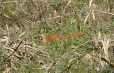 weasel near Homan river