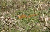weasel near Homan river