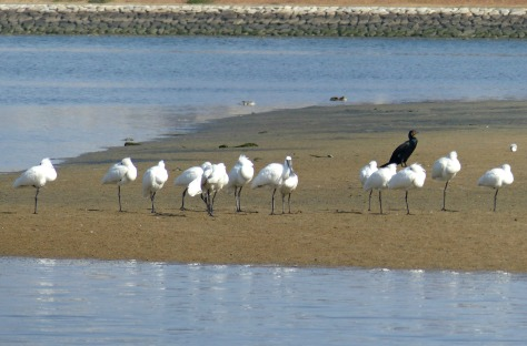 black-faced spoonbill, kurotsura-herasagi