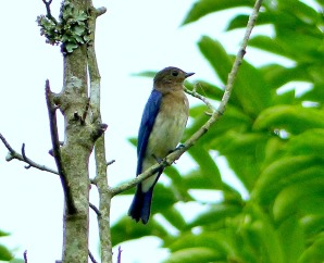 blue and white flycatcher,imm.O-ruri