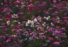 Cosmos at sunset.