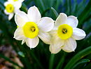 130px-A_Perfect_Pair_Daffodills_(Narcissus)_-_8