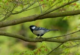 Great Tit, Shijugara
