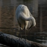 Plumed Egret, chuusagi