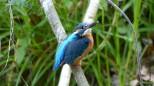 kingfisher, edited fz200 watermarked