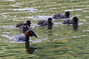 Mother grebe with grebettes