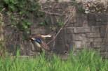 Spot-Billed Duck, Karugamo