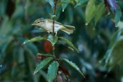 Eastern crowned warbler, Sendai mushikui