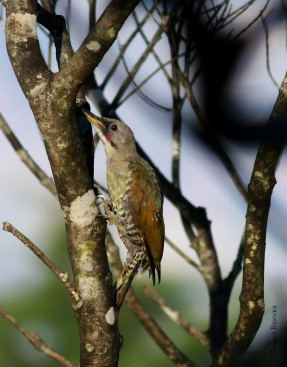 Japanese green woodpecker, Aogera