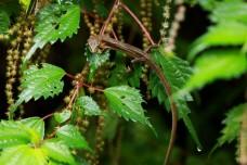Japanese grass lizard, Kanahebi