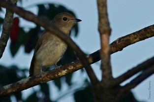 Narcissus flycatcher, Kibitaki (female)