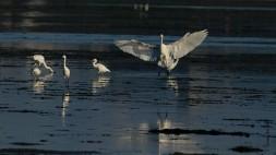 Wajiro Tidal Flats, Great egret, Osagi