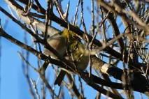 Japanese white-eye, Meijiro