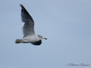 Black-tailed Gull, Umineko