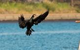 Great Cormorant, Kawa-u