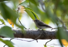 Grey-spotted flycatcher, Ezo-bitaki