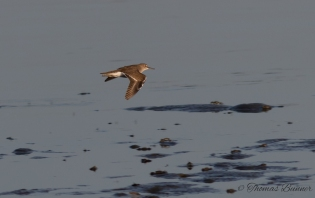 Temminck's Stint, Ojiro-to