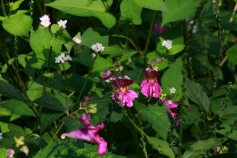 Knotweed (white flower) and Touch-me-nots