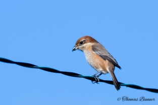 Bull-headed Shrike, Mozu