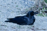 Carrion Crow, Hashiboso-garasu